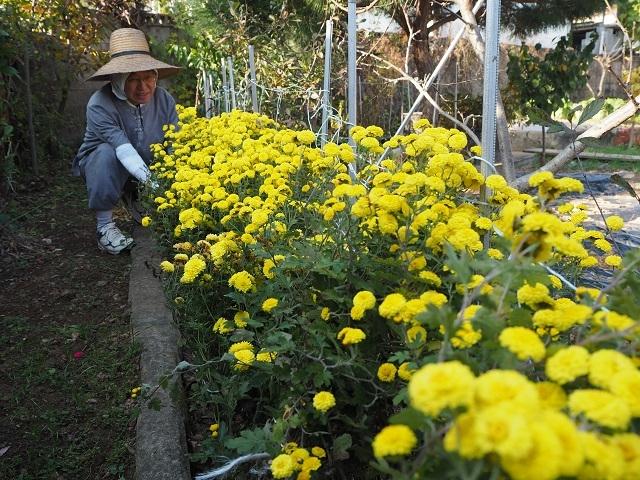 노란 국화꽃이 건강하고 활기차 보입니다.
