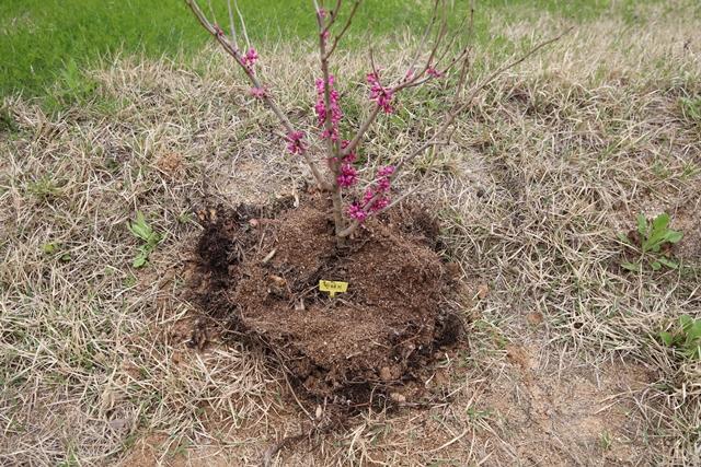 숙소 동 앞에 묘목을 심었습니다. 박태기나무에 꽃이 만발할 때를 기다립니다.