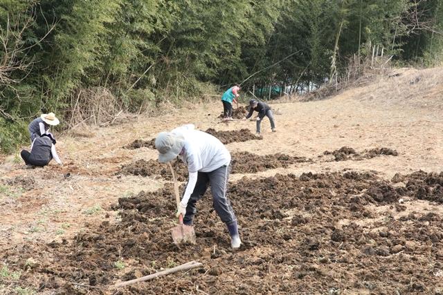 북한에 보낼 씨감자를 심을 밭을 정비하였습니다. 비닐을 걷고 소똥을 넓게 펴서 감자 심을 준비를 하였습니다.