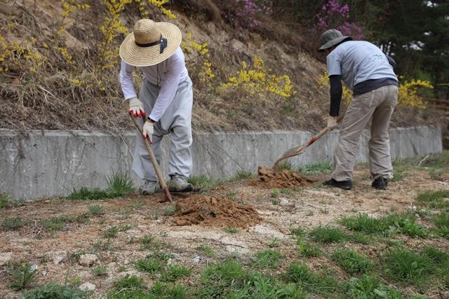 맷돌 호박 20모종은 예전에 화장실이 있던 자리에 구덩이를 파서 심었습니다.