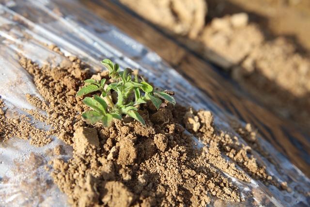 자주 감자 싹이 흙을 뚫고 햇빛을 쬐고 있습니다. 곧 통일씨감자에서도 싹을 보길.