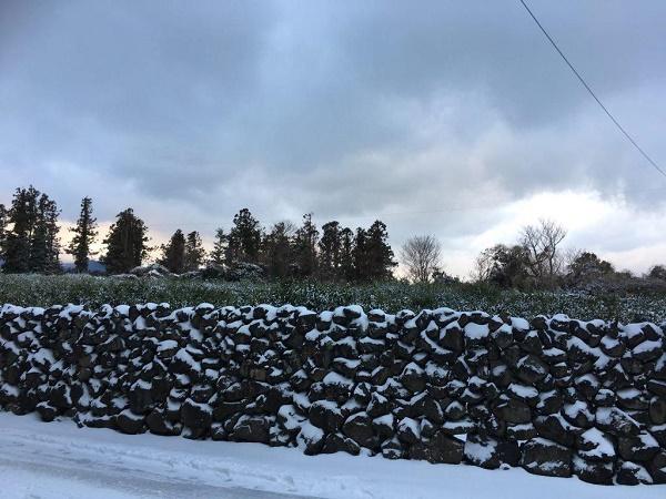 2018년 1월 10일, 감귤나무와 돌담에 눈 쌓인 제주